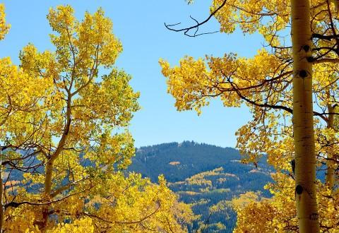 Colorado_aspens